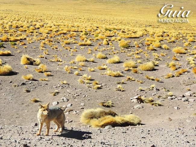 Raposa no deserto do Atacama