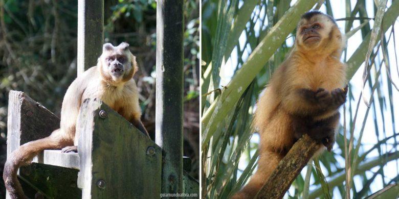 Vida animal de Bonito, Macaco Prego